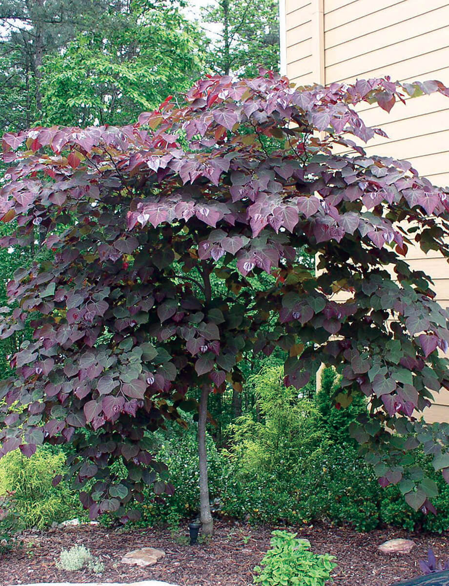 Can hardly wait to plant our tri-color beech tree! Note to self: Put ...