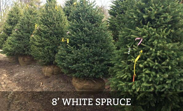 white-spruce-8-foot