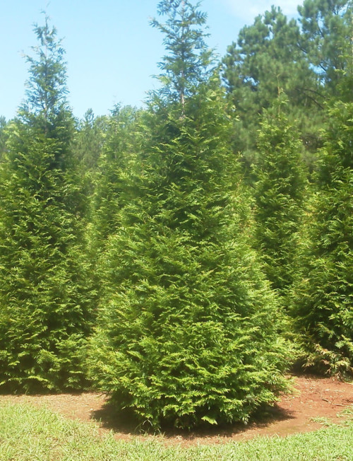 Evergreen trees fort wayne trees Green giant arborvitae