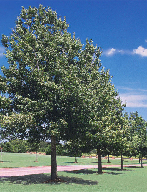 shade-tree-fort-wayne-trees-for-sale