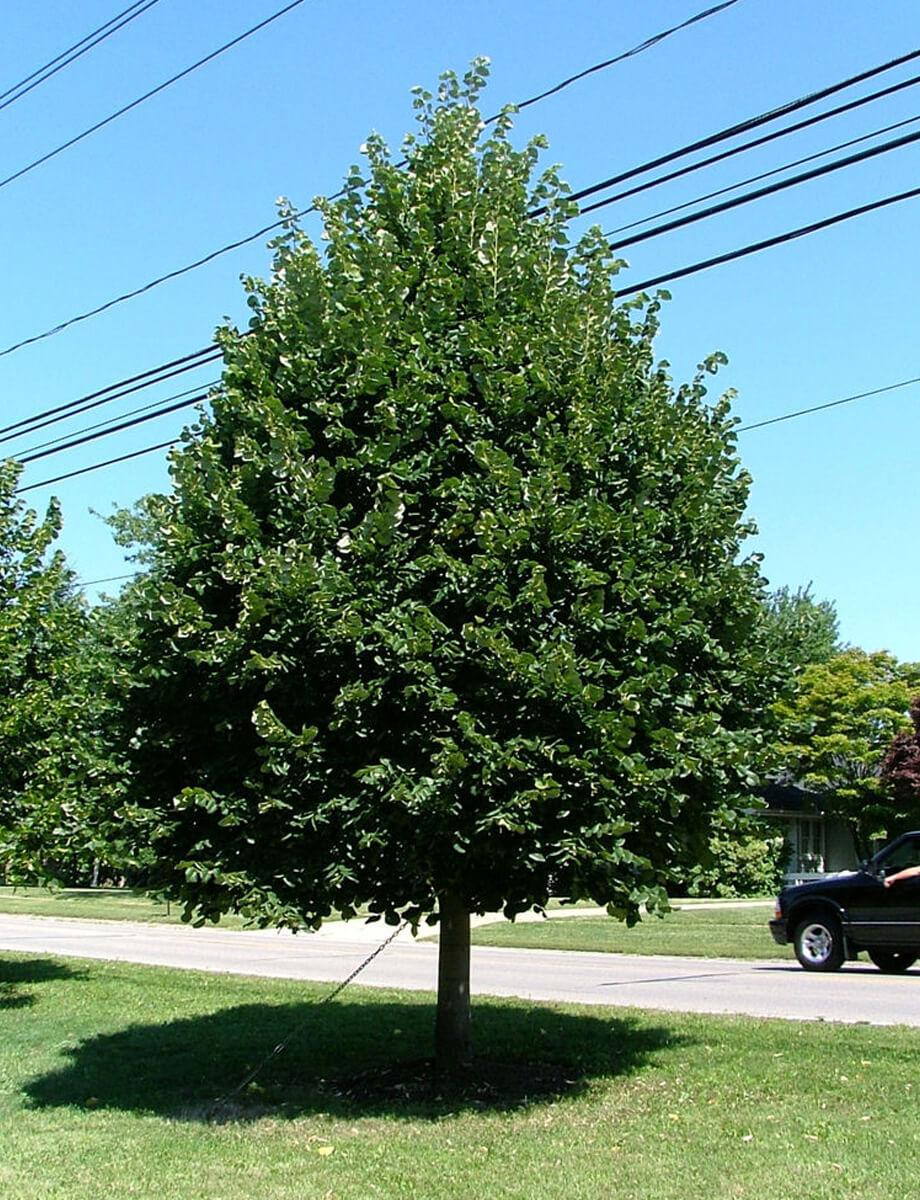 Greenspire Linden | | Fort Wayne Trees